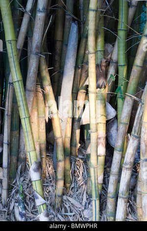 Bamboo forest on the banks of Karanji Lake in Mysore, Karnataka, India. - Stockfoto