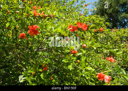 flowers and buds of a pomegranate tree punica granatum boutons et stock photo royalty free. Black Bedroom Furniture Sets. Home Design Ideas