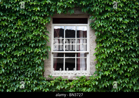 Parthenocissus tricuspidata covering the wall of a house surrounding an old wooden sash window. Cotswolds, UK. Boston - Stock Photo