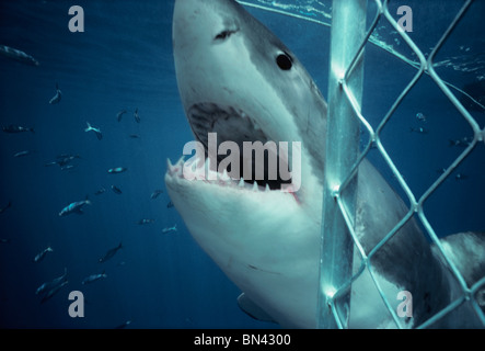 Great White Shark (Carcharodon carcharias) attacking protective shark diving cage, Dangerous Reef, South Australia - Stock Photo
