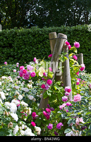 Summer Rose bed - Stock Photo