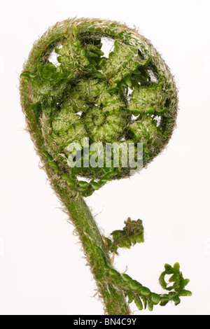 Male fern (Dryopteris filix-mas) frond curled before extension in spring, white background - Stock Photo