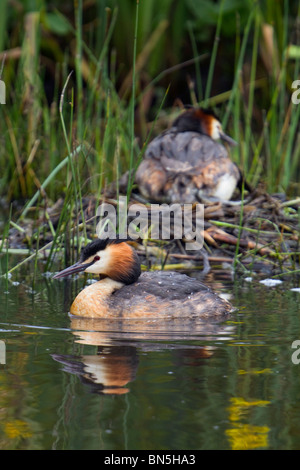 Great Crested Grebe; Podiceps cristatus; on nest in background - Stock Photo