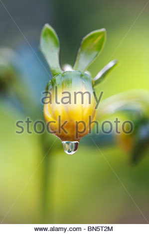 Waterdrop on a Closed Dahlia flower bud after the rain. UK - Stockfoto