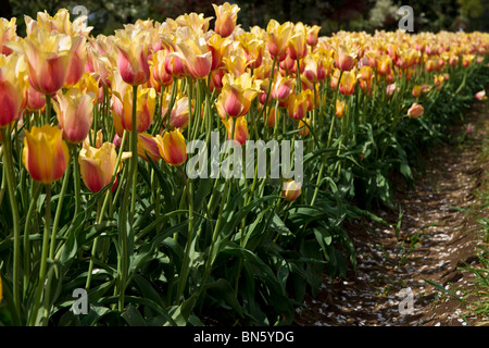 Side close-up view of multi color Blushing Beauty tulips in Holland Michigan no not people nobody isolated - Stock Photo
