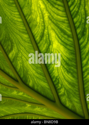 Macro shot of plant leaf. Sunlight shining through a plant leaf, showing detailed, intricate patterns and structure. - Stock Photo