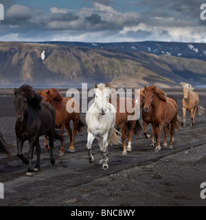 Moving herd of Icelandic horses on the black sands of Maelifellssandi, Myrdalsjokull Glacier, Iceland - Stock Photo