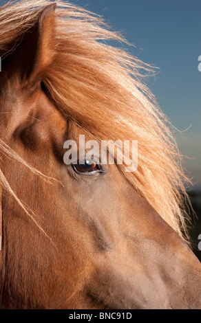 Portrait of Icelandic Horse, Iceland - Stock Photo