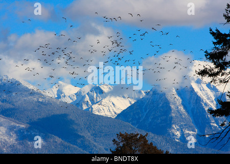 Ducks flying in the sky with a mountain range in the background, Mission Mountains, Montana, USA - Stock Photo