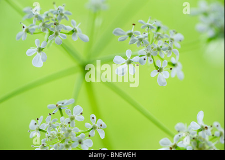Cow parsley  flowers close up - Stock Photo
