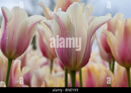 Dutch Holland Michigan in Blushing Beauty closeup close up festival time display show flowers fair nobody - Stock Photo