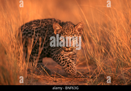 Young Leopard (Panthera pardus) hiding in grass, Namibia - Stock Photo