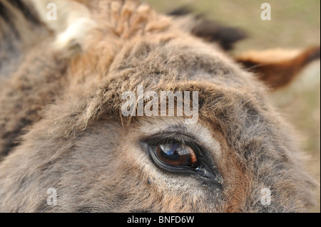 Close up image of a donkey's eye - Stock Photo