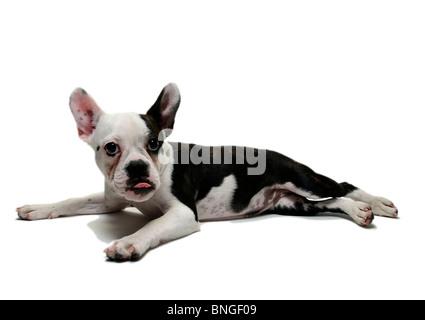 French bulldog puppy resting - Stock Photo