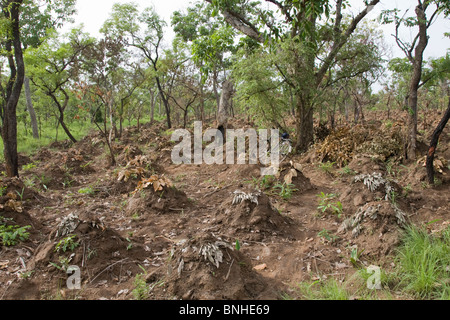 Yam cultivation in the Gonja triangle, Damango district, Ghana. - Stock Photo