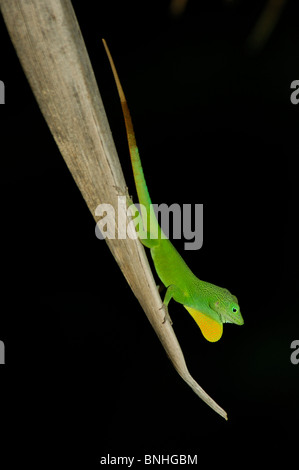 Caribbean Port Antonio Jamaica Lizard Mockingbird Hill Hotel North Coast Genus Anolis Lizard Green Yellow Dewlap - Stock Photo