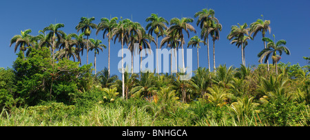 Caribbean Port Antonio Jamaica North Coast Palm Trees Palms Tropics Tropical Forest Nature Landscape Scenery - Stock Photo