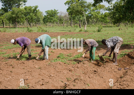 Young men from a Fulani family in a village in Ghana. They are hoeing the ground in preparation for the sowing of - Stock Photo