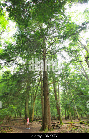 A hiker stops to admire a tall hemlock tree in Cathedral State Park, Brookside, West Virginia, USA - Stock Photo