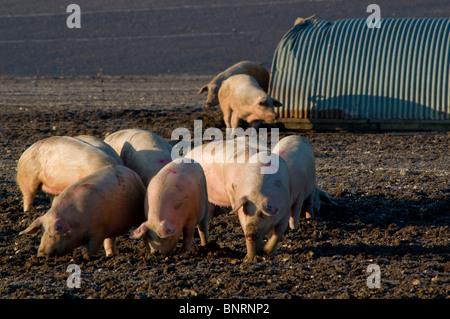 Free Range Pig Farming Pork Production Shottisham Suffolk