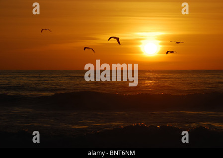 Seagulls flying over the Pacific coast in California in sunset. - Stock Photo