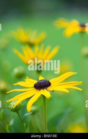 Rudbeckia fulgida var sullivantii 'Goldsturm'. Black Eyed Susan flower - Stock Photo