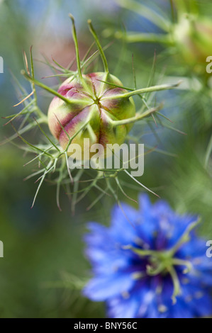 seed pods and flowers of love in a mist nigella damascena stock photo royalty free image. Black Bedroom Furniture Sets. Home Design Ideas