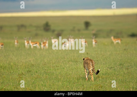 Kenya, Masai Mara. A female cheetah stalks a herd of Thomson's gazelle on the savannah. - Stockfoto