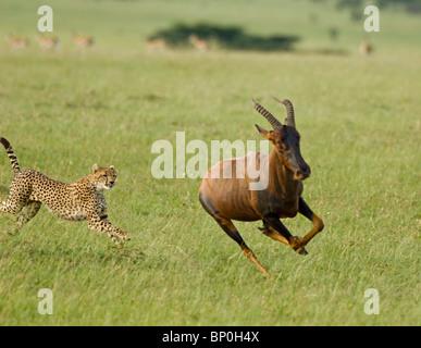 Kenya, Masai Mara. A female cheetah hunts a topi in the short grass plains. - Stockfoto