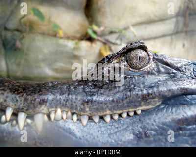 Spectacled Caiman (Caïman Crocodilus) - Stock Photo