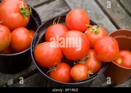 Nach Hause gewachsen frisch gepflückten Tomaten in Töpfen pland - Stockfoto