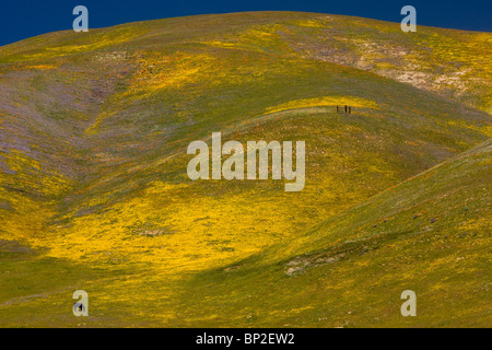 Intensely flowery pastures, grazed by horses, in spring on the Tejon Pass, Gorman in the Tehatchapi Mountains - Stock Photo