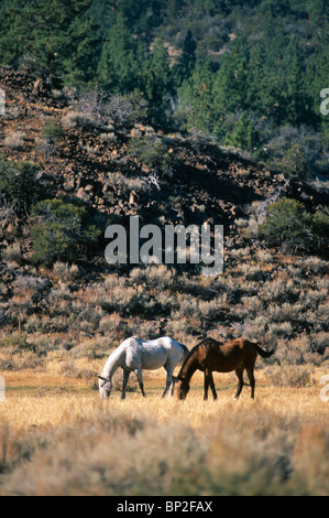 Two horses grazing in the Sierra Nevada mountains, California, USA. - Stock Photo