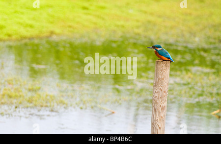 Common Kingfisher perched on wooden post. - Stockfoto
