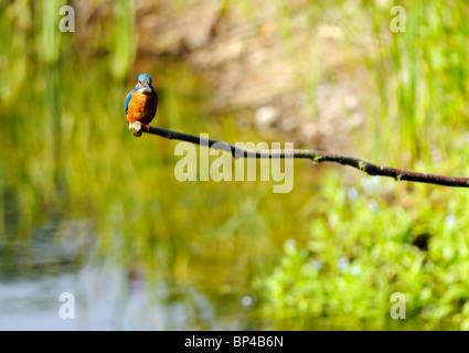 Common Kingfisher perched on end of branch. - Stockfoto