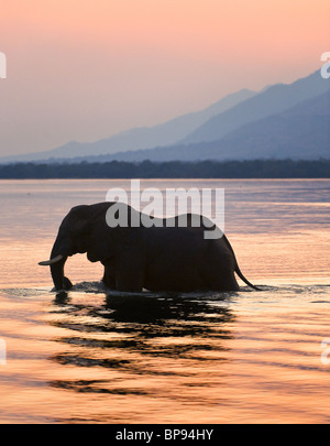 Sundown. Elephant on the river Zambezi. - Stock Photo