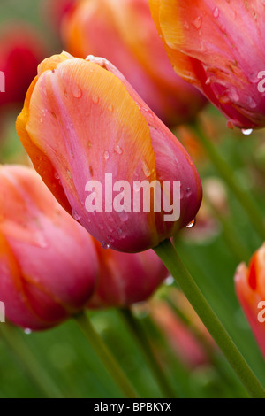 View of tulip festival from Holland Michigan in USA extreme close up closeup macro display orange tulips heads show - Stock Photo