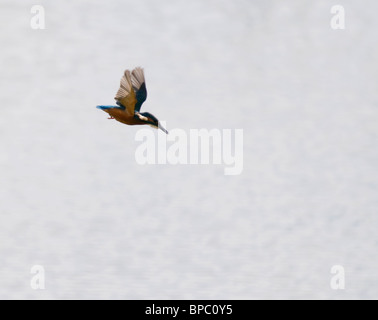 Kingfisher diving for fish - Stockfoto