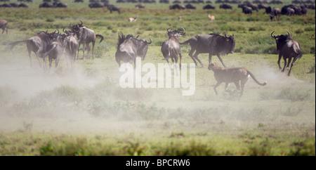 cheetah chasing a wildebeest, Serengeti, Tanzania - Stockfoto