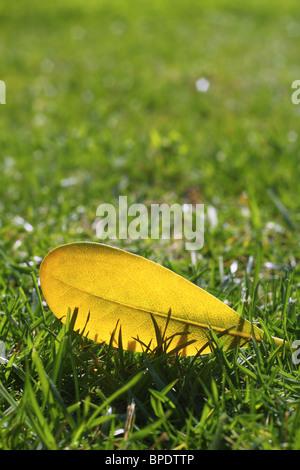 yellow autumn fall leaf on garden green grass lawn vivid seasonal colors - Stock Photo