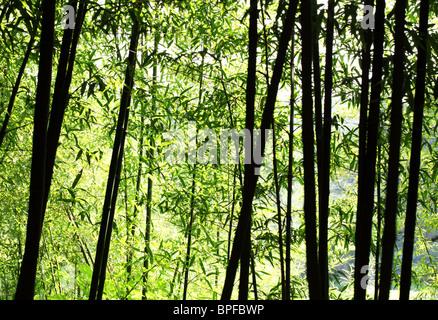 Hellen Bambuswald im Sonnenlicht - Stockfoto