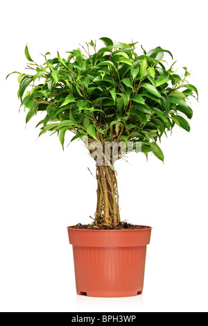small green tree in a pot with green background stock photo royalty free image 49712314 alamy. Black Bedroom Furniture Sets. Home Design Ideas