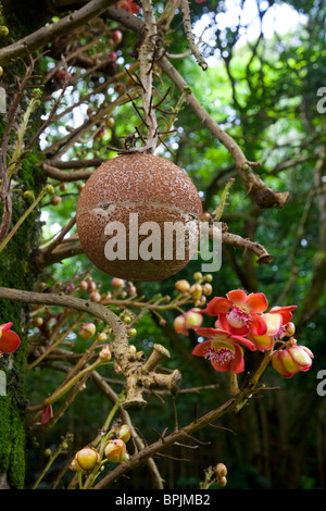 Cannonball tree stock photo royalty free image 19875357 alamy for Senator fong s plantation and gardens