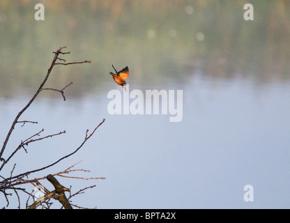 Kingfisher diving for fish from perch - Stockfoto