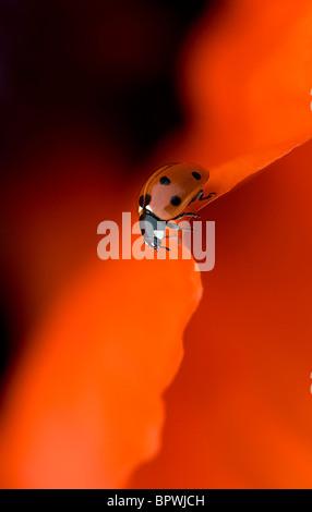 Coccinella septempunctata - Coccinella 7-punctata - 7-spot Ladybird on a vibrant red oriental poppy flower petal - Stockfoto