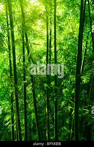 Landscape of bamboo tree in tropical rain forest, Malaysia - Stock Photo