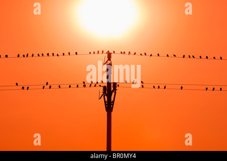 birds sitting on wires in sunset - Stock Photo