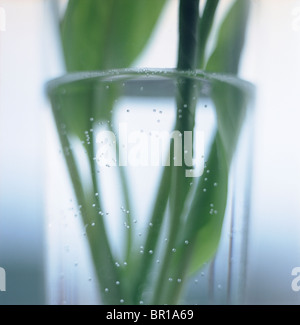 Close up of Tulip stems in glass vase with water bubbles. - Stockfoto
