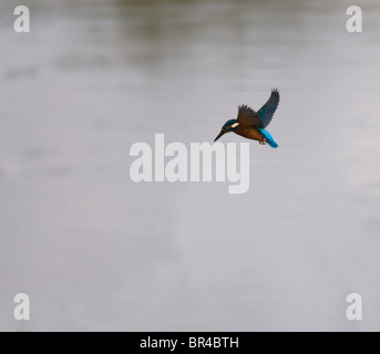 Common Kingfisher Hovering before diving for prey - Stockfoto