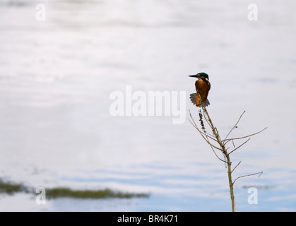 Common Kingfisher perched - Stockfoto